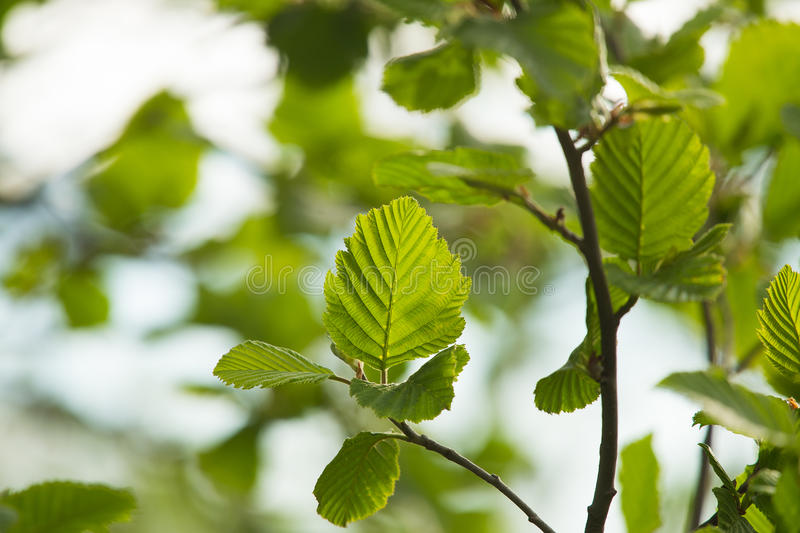 A beautiful closeup of a common black alder branches in spring. Sunny summer day stock photos