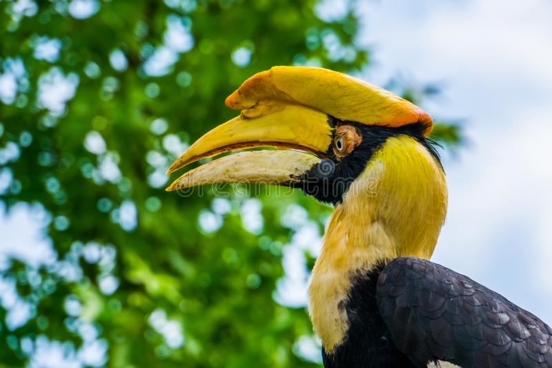 Beautiful closeup of the face of a great indian hornbill bird, Vulnerable animal specie from Asia. A beautiful closeup of the face of a great indian hornbill stock photo