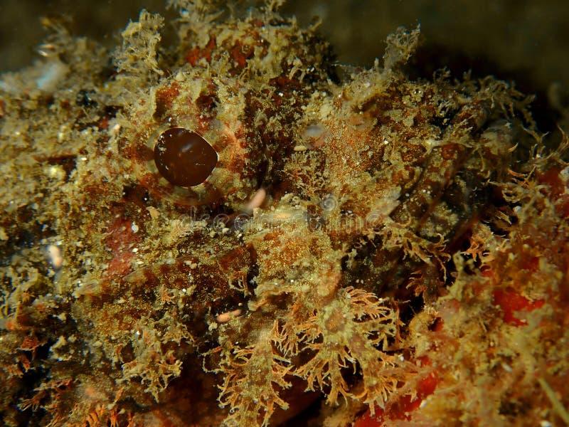 A beautiful closeup and macro shot of the scorpionfish during a leisure dive in Tunku Abdul Rahman Park, Kota Kinabalu. Sabah. Closeup and macro shot of the stock photos