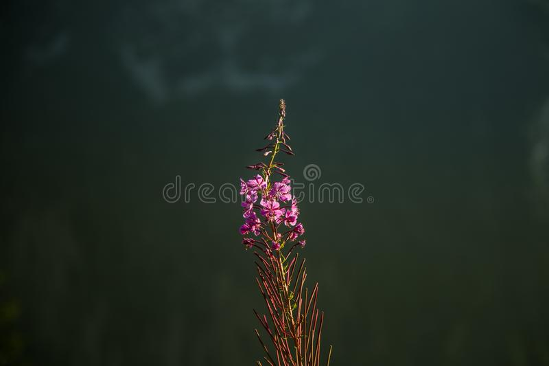 A beautiful closeup of a mountain vegetation in Tatra mountains in Slovakia, Europe. Summer plants in Tatry national park. stock photo