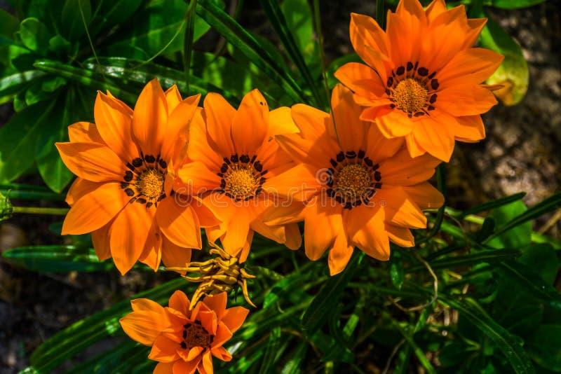 Beautiful closeup of orange treasure flowers, annual plant specie from africa, popular ornamental flower in horticulture. A beautiful closeup of orange treasure stock image