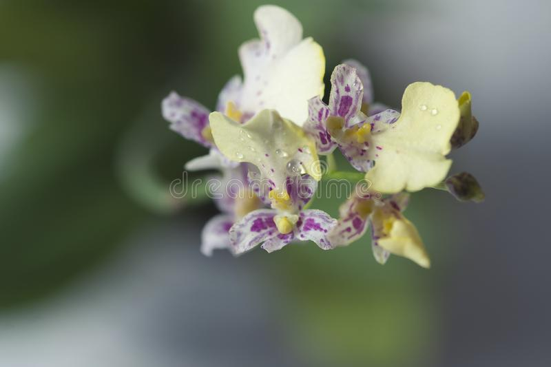 Beautiful closeup of an orchid White Oncidium Twinkle mini orchid. stock photo