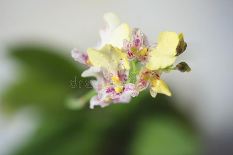 Beautiful closeup of an orchid White Oncidium Twinkle mini orchid. stock image