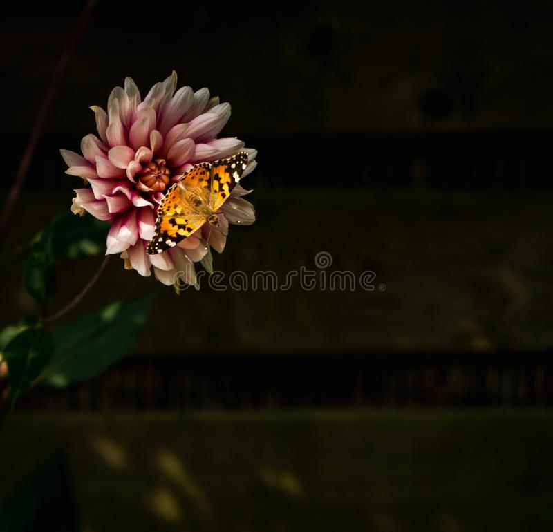 Closeup on Painted lady butterfly resting on purple-white dahlia blossom royalty free stock photos