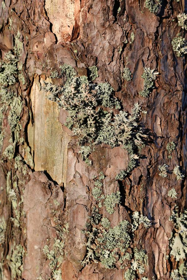 Texture of a Brown Tree Trunk with Some Lichen on It. Beautiful closeup photo of a texture of brown tree trunk with some grey lichen on it. Detailed image that royalty free stock images