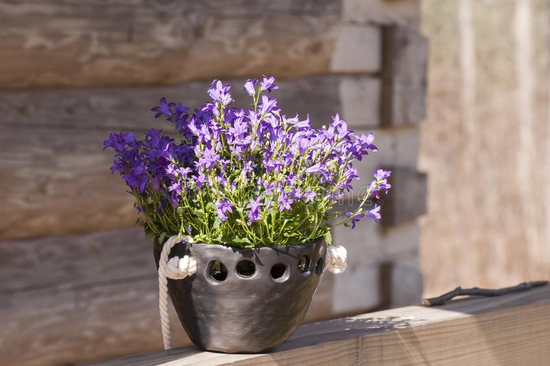 Beautiful closeup of planter with beautiful Bell flowers Campanula portenschlagiana of black pottery on background of log house stock photo