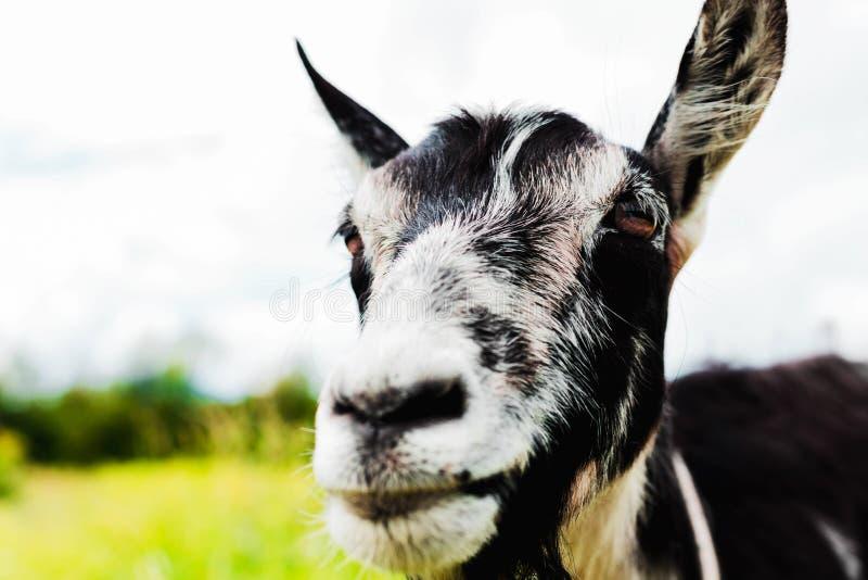 Beautiful closeup portrait of a goat royalty free stock photos