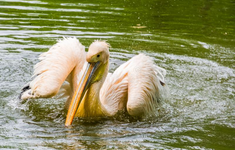Beautiful closeup portrait of a great white pelican landing in the water, common aquatic bird specie from Eurasia. A beautiful closeup portrait of a great white stock photography