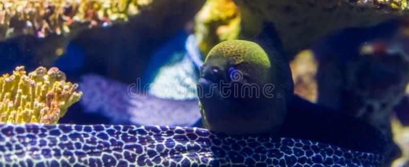 Beautiful closeup portrait of a mediterranean moray eel, popular fish specie in aquaculture, tropical aquarium pet. A beautiful closeup portrait of a stock images