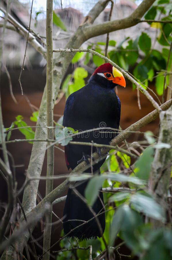Beautiful closeup portrait of a violet turaco. Popular exotic bird specie from africa stock images