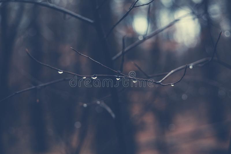 Beautiful closeup selective focus shot of a tree branch with morning dew drops royalty free stock photo