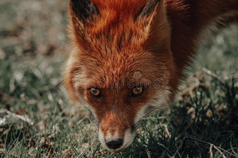 Beautiful closeup shot of a brown fox royalty free stock photography