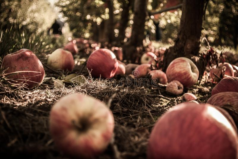 Beautiful closeup shot of fallen apples in a wild forest stock images