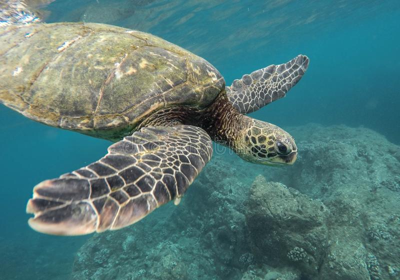 Beautiful closeup shot of a large turtle swimming underwater in the ocean royalty free stock photo