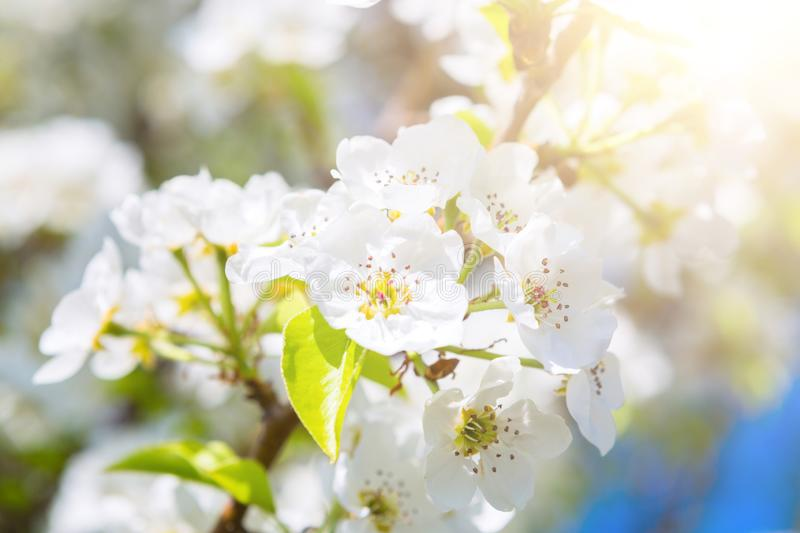 Beautiful closeup spring blossoming tree. Japanese spring scenics Spring flowers Spring Background royalty free stock photo