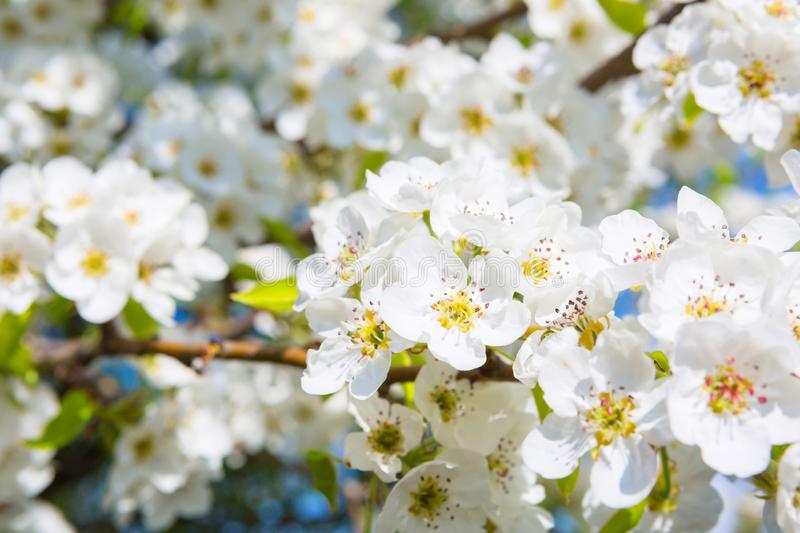 Beautiful closeup spring blossoming tree. Japanese spring scenics Spring flowers Spring Background stock photo