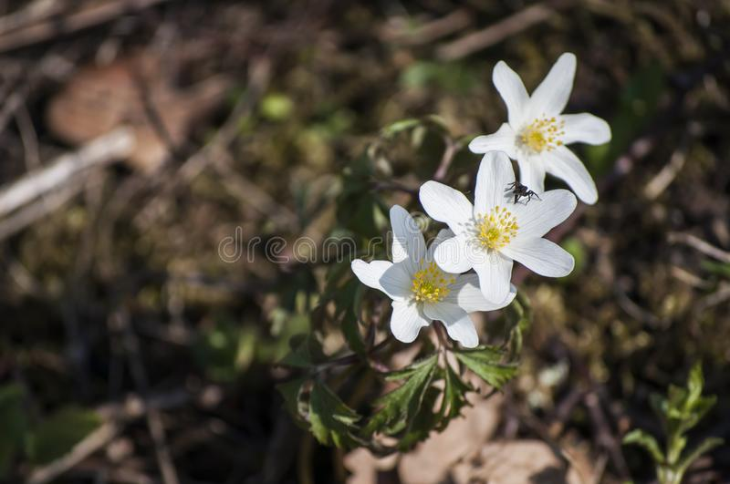 Beautiful spring closeup of three wood Anemones in sunlight. royalty free stock images