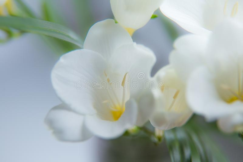 A beautiful closeup of a white freesia flower with shallow depth of download a beautiful closeup of a white freesia flower with shallow depth of field spring mightylinksfo