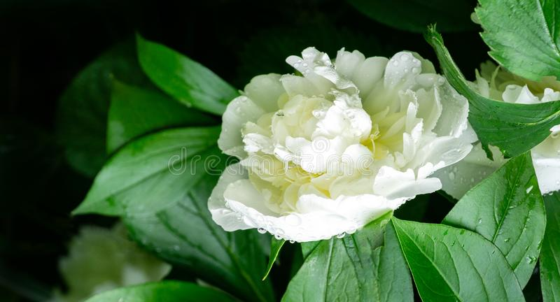Beautiful clouse-up of big white peony with big waterdrops blooming under the sun against dark green leaves in garden royalty free stock photo