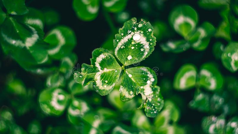 Beautiful clover with dew close up, shot with a vintage lens stock image