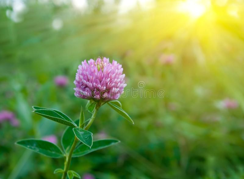 Beautiful Clover Flower Stock Images
