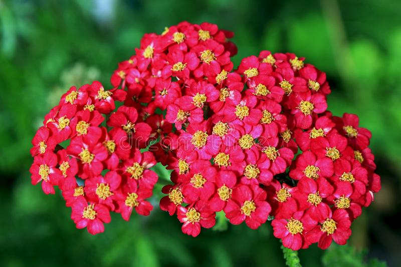 Red yarrow flower cluster. Beautiful clusters of red yarrow flowers. Yarrow is an easy perennial, growing in nearly any sunny situation, even where there is poor stock photos