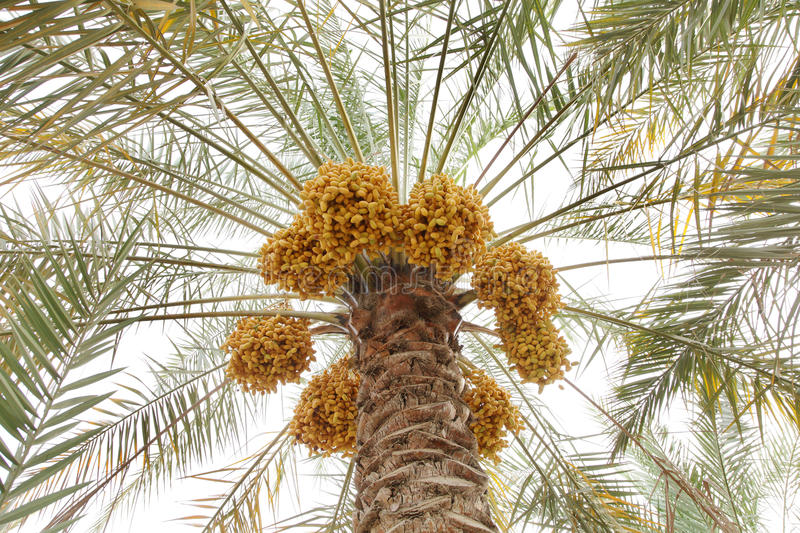 Beautiful clusters of yellow dates royalty free stock photography