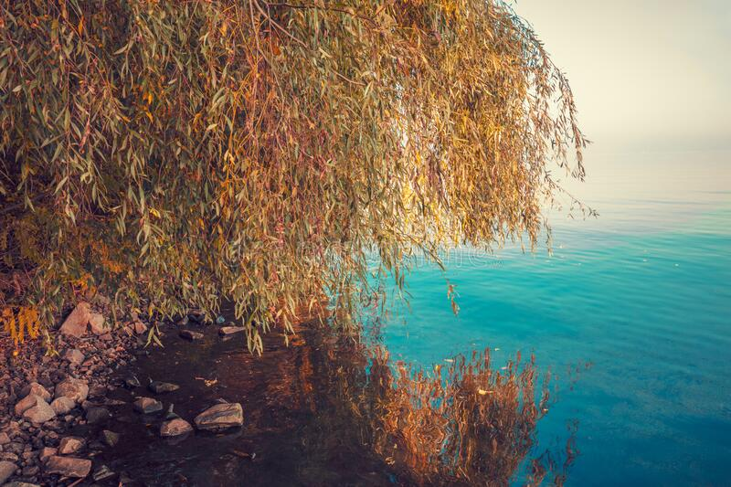 Beautiful coast in the fall. With reflection of willow in the water stock image