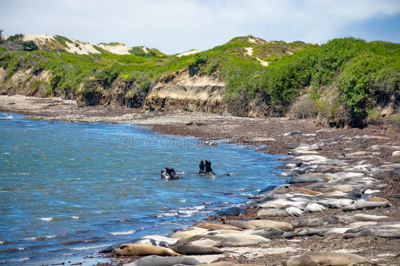 Seals relaxing on the California beach. royalty free stock photography