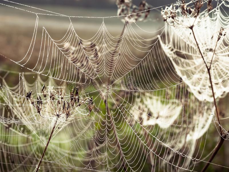 Beautiful Cobweb Decorated With Drops of Dew Swaying in the Wind in the Early Morning. Natural Background royalty free stock photography