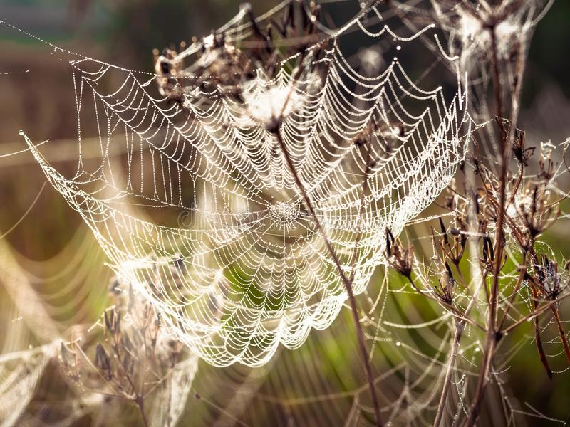 Beautiful Cobweb Decorated With Drops of Dew Swaying in the Wind in the Early Morning. Natural Background stock photo