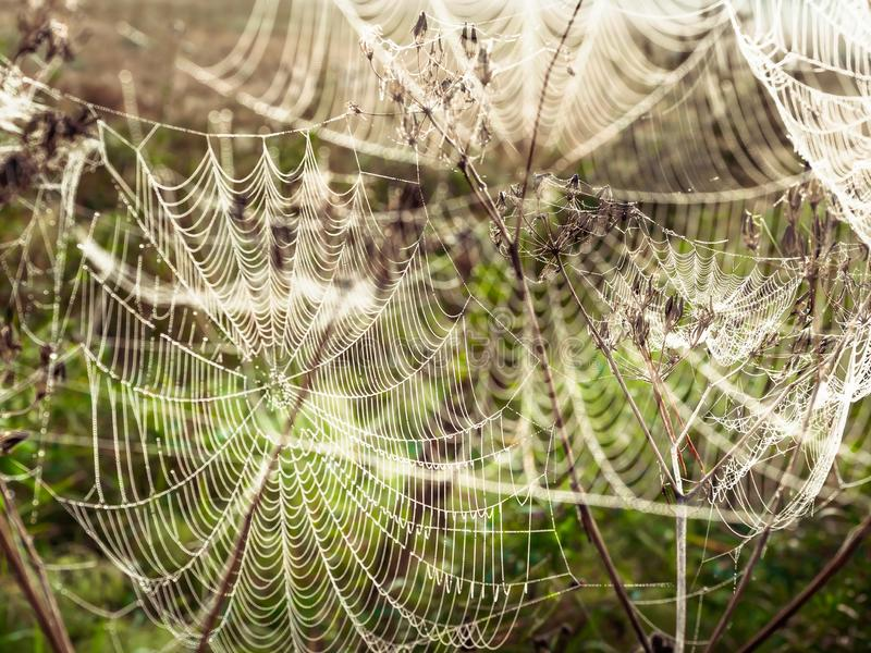 Beautiful Cobweb Decorated With Drops of Dew Swaying in the Wind in the Early Morning. Natural Background stock photos