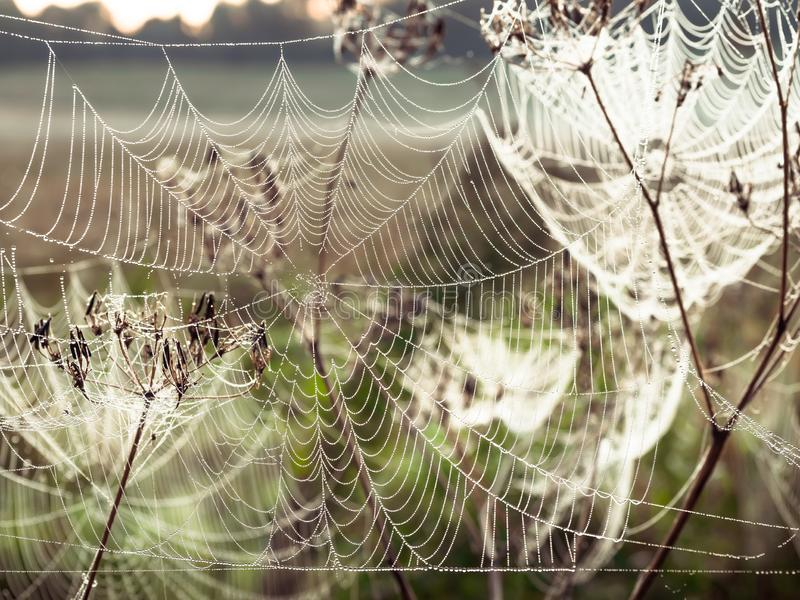 Beautiful Cobweb Decorated With Drops of Dew Swaying in the Wind in the Early Morning. Natural Background stock image