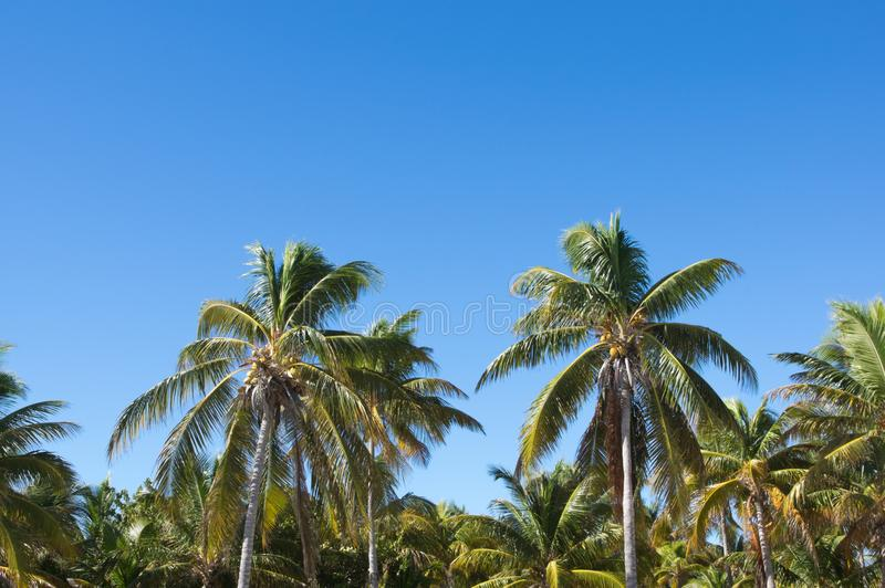 Coconut palms against a background of blue sky stock images