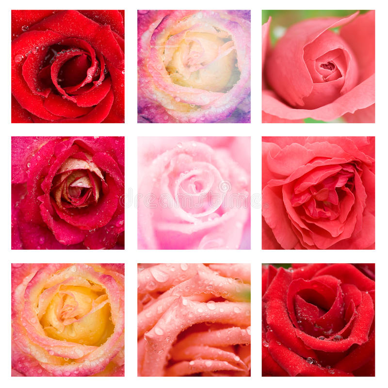 Beautiful collage roses stock images