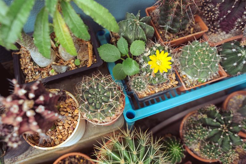 Beautiful collection of cactuses on the balcony, several ones of Gymnocalycium genus stock photo