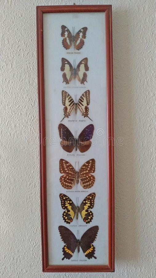 Beautiful collection of dried butterflies in the frame royalty free stock photography