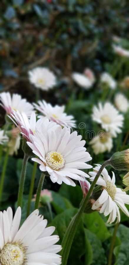 Spring Daisies - Gerbera White with Pink Blush stock photography