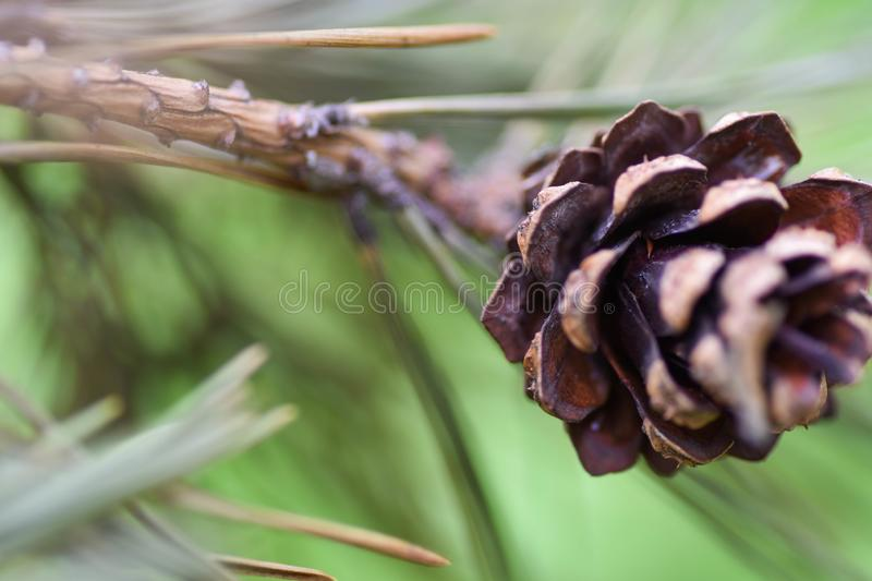 Beautiful color Christmas pine cone on green branches.  royalty free stock image