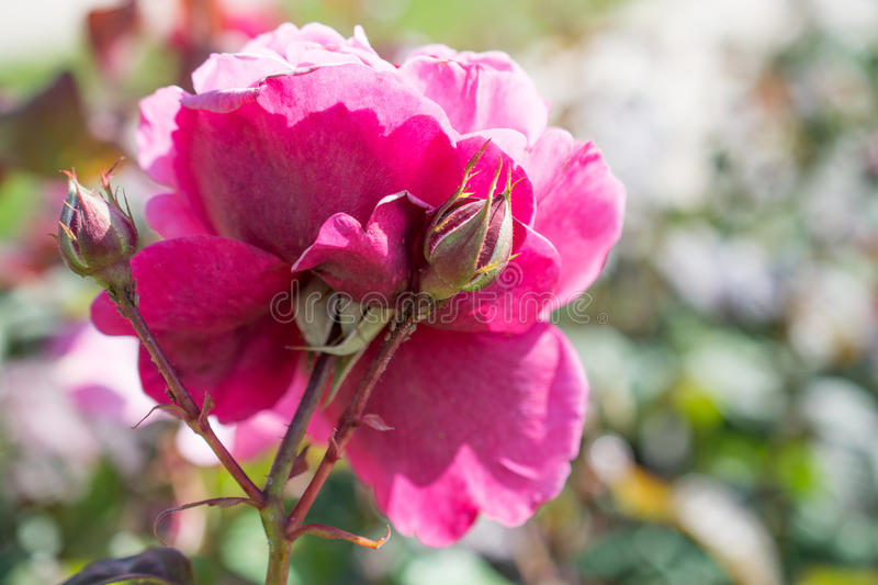 Beautiful color rose. On a sunny spring day stock photography