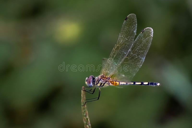Beautiful color side of Dragonfly Close up macro small insect animal on plant long tail translucent wings wildlife in summer. Environment nature field over blur royalty free stock photos
