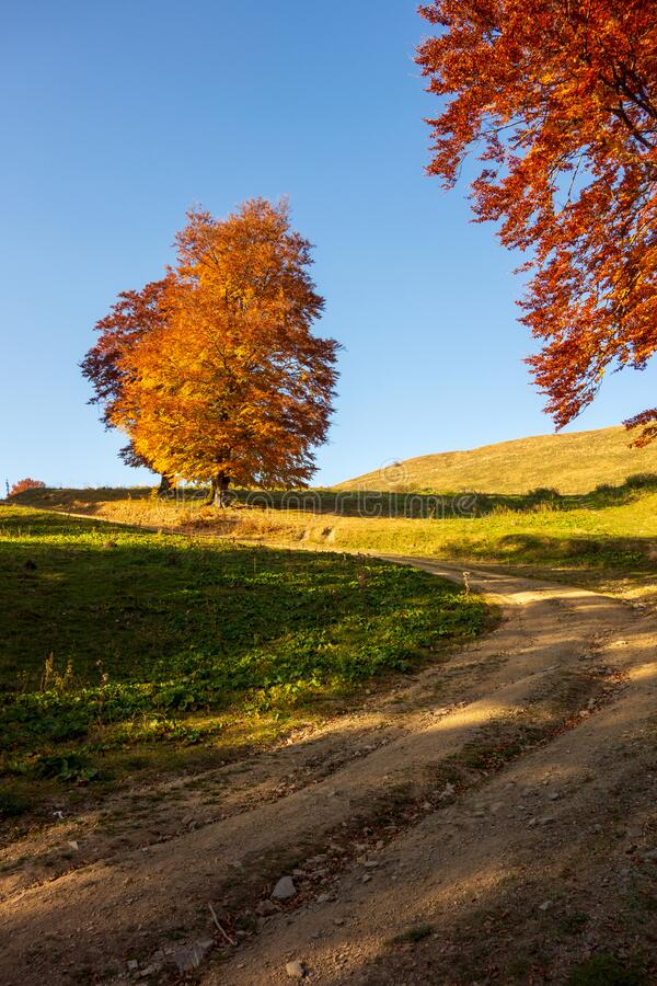 Beautiful colored beech tree in a sunny autumn day royalty free stock image