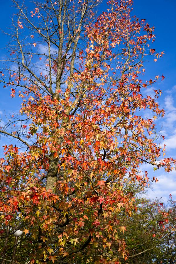 Colored fall leaves on blue sky. Beautiful colored fall leaves with blue sky royalty free stock images