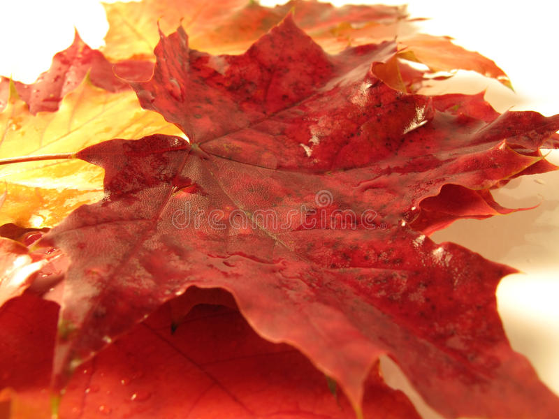 Beautiful colored fall leaves with water drops. Beautiful colored fall leaves - Great Autumn background royalty free stock photos