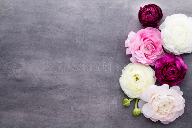 Beautiful colored ranunculus flowers on a gray background. stock photo