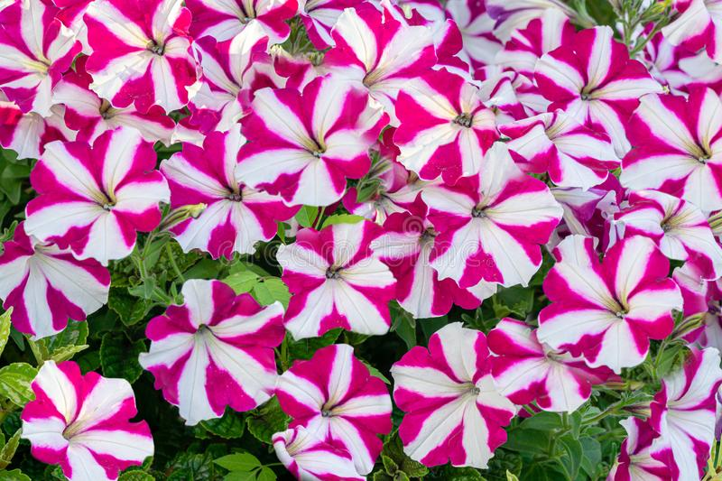 Beautiful colorful blooming Petunia flowers Petunia hybrida with purple and white striped petals. Summer flower landscape, fresh wallpaper and nature stock photo
