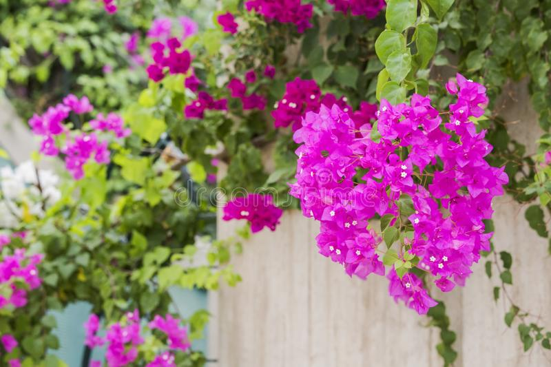 Beautiful and colorful bougainvillea flowers. A wall with bright pink bougainvillea plant growing on the top of the wall hanging royalty free stock photos