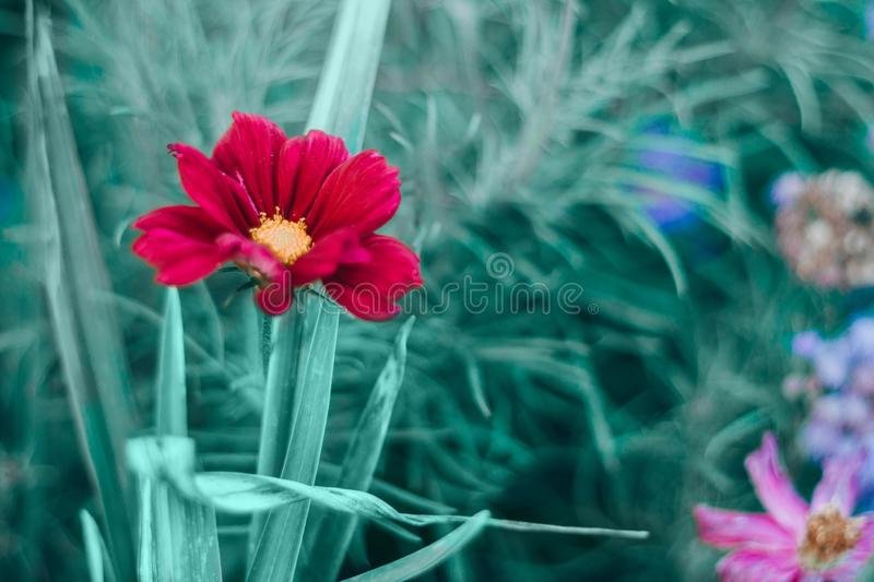 Beautiful colorful bright dark red flower with green leaves on blurry background bokeh. Toned with filters and light leak. Soft selective focus. Macro closeup stock images