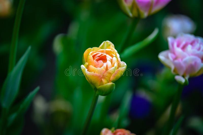 Beautiful and colorful bright yellow-pink colored tulip on dark-green background. stock images