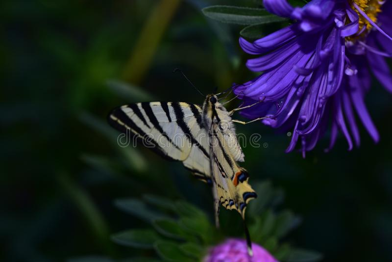 Beautiful colorful butterfly on the flower royalty free stock photography